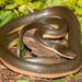 Lycodonomorphus rufulus - Photo (c) Chad Keates, kaikki oikeudet pidätetään