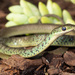 Spotted Bush Snake - Photo (c) Chad Keates, all rights reserved
