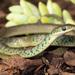 Philothamnus semivariegatus - Photo (c) Chad Keates, todos los derechos reservados