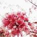 Prunus campanulata - Photo (c) Simone Kodama, kaikki oikeudet pidätetään