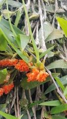 Image of Maxillaria horichii