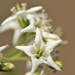 Ehretia anacua - Photo (c) Arnulfo Moreno, todos os direitos reservados