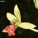 Orquídeas - Photo (c) Ori Fragman-Sapir, todos los derechos reservados