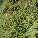 Pouched Coral Fern - Photo (c) Patrick  Campbell, all rights reserved, uploaded by Patrick Campbell