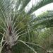 Triangle Palm - Photo (c) Ori Fragman-Sapir, all rights reserved