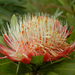 Common Sugarbush - Photo (c) Johnny Wilson, all rights reserved