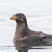 Rhinoceros Auklet - Photo (c) Eric Ellingson, some rights reserved (CC BY-NC-ND)