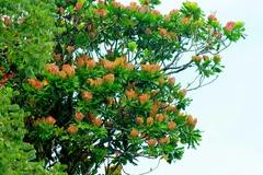 Cespedesia spathulata image