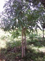 Mangifera indica image