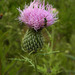 Field Thistle - Photo (c) jawinget, all rights reserved, uploaded by jawinget