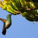 Berylline Hummingbird - Photo (c) Tamara Blazquez Haik, all rights reserved