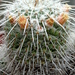 Mammillaria parkinsonii - Photo (c) Lex García, all rights reserved