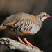 Pheasants, Grouse, and Allies - Photo (c) Agustín Povedano, some rights reserved (CC BY-NC-SA)