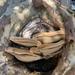 Inonotus arizonicus - Photo (c) milavth, todos los derechos reservados