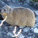 Cape Dassie - Photo (c) AlainG80, all rights reserved