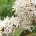 Miconia aeruginosa - Photo (c) Efray Alzate, todos los derechos reservados