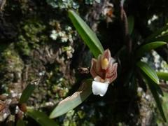 Maxillaria uncata image
