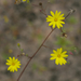 Slender Scratch Daisy - Photo (c) Eric Hunt, all rights reserved