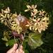 Carpodiptera cubensis - Photo (c) eri_pagaza, todos los derechos reservados