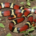Scarlet Kingsnake - Photo (c) Michael Price, all rights reserved