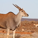 Common Eland - Photo (c) Graham Montgomery, all rights reserved
