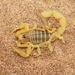 Buthus bonito - Photo (c) naturalist, כל הזכויות שמורות