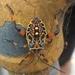 Pachylis hector - Photo (c) Rick OReilly, todos los derechos reservados