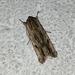 Southern Armyworm Moth - Photo (c) Benjamin de la Cruz, all rights reserved