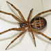 Noble False Widow - Photo (c) Martin Cooper, some rights reserved (CC BY)