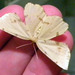 Crocus Geometer Moths - Photo (c) jawinget, all rights reserved, uploaded by jawinget