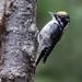 American Three-toed Woodpecker - Photo (c) Mason Maron, all rights reserved