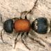 Tropidotilla litoralis - Photo (c) gernotkunz, all rights reserved