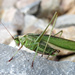 Treetop Bush Katydid - Photo (c) Larry Clarfeld, all rights reserved