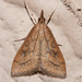 Celery Leaftier Moth - Photo (c) Eric Williams, all rights reserved