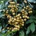 Dimocarpus longan - Photo (c) Leonard Worthington, kaikki oikeudet pidätetään