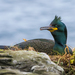 European Shag - Photo (c) Tony, some rights reserved (CC BY)