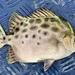 Scatophagus argus - Photo (c) Mau Mau, כל הזכויות שמורות