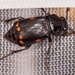 Pustulated Carrion Beetle - Photo (c) Mark Etheridge, all rights reserved