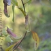 Nepenthes mirabilis - Photo (c) wawan, todos los derechos reservados