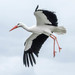 White Stork - Photo (c) Barry Badcock, some rights reserved (CC BY)