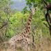 Giraffa camelopardalis antiquorum - Photo (c) Antoine Edé, todos los derechos reservados