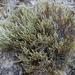 Selaginella corallina - Photo (c) Eric Hunt, all rights reserved