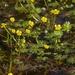 Ranunculus gmelinii purshii - Photo (c) saxzimbog, todos los derechos reservados, uploaded by saxzimbog