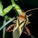 Crinocerus sanctus - Photo (c) Isaac Oliveira, todos los derechos reservados