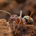 Large Pugnacious Ant - Photo (c) Johan Pretorius, all rights reserved