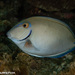 Caribbean Ocean Surgeonfish - Photo (c) Tim Cameron, all rights reserved