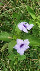 Image of Ruellia tuberosa