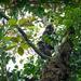 Cercopithecus erythrotis camerunensis - Photo (c) Antoine Edé, todos los derechos reservados