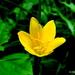 Zephyranthes citrina - Photo (c) Rajib Maulick, כל הזכויות שמורות