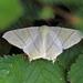 Ourapteryx sambucaria - Photo (c) Nigel Voaden, todos los derechos reservados